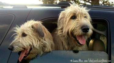 Clancy and Lucy Irish Wolfhound Dogs