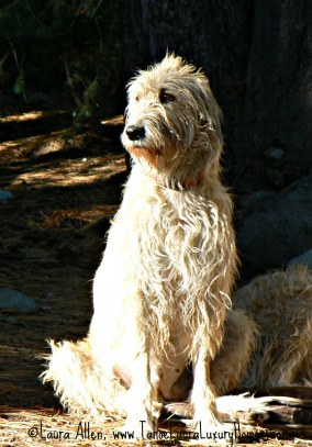 Rose the Irish Wolfhound Dog Fall 2011