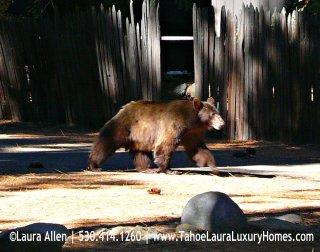 Bears in Tahoe City, California